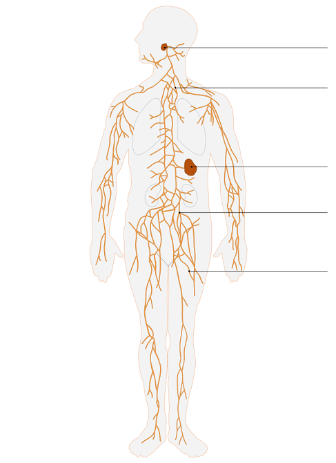 Lymphatic_system.png
