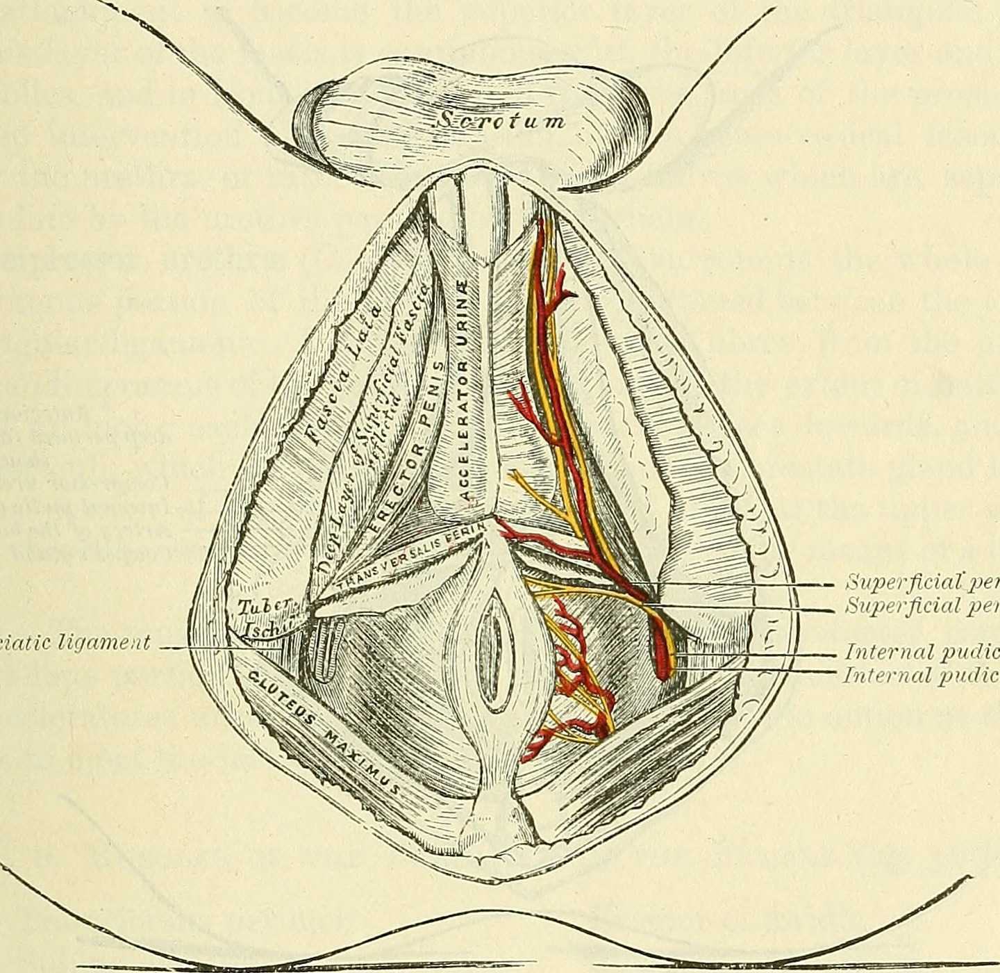 Male Perineum Nerves